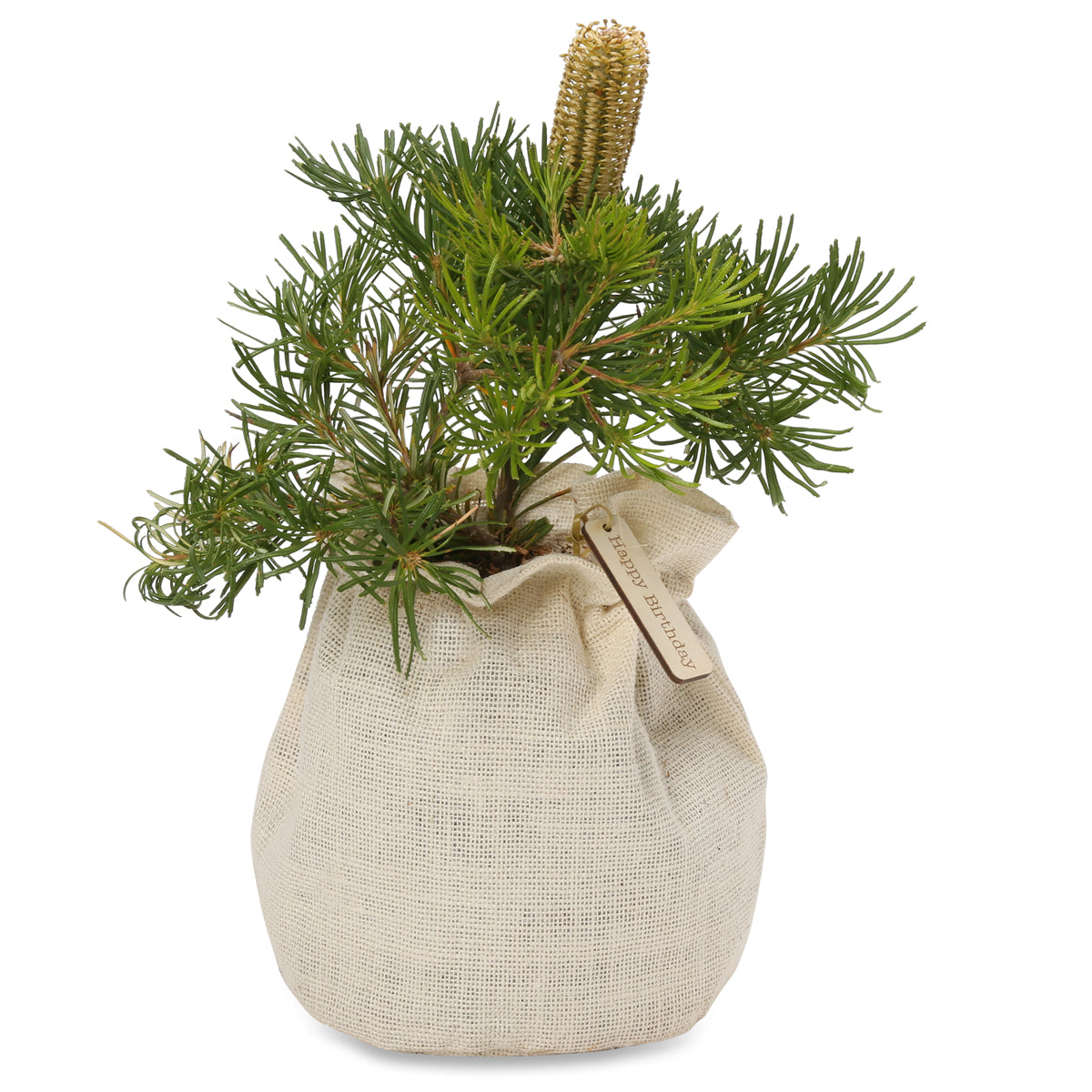 Banksia Birthday candles native gift tree