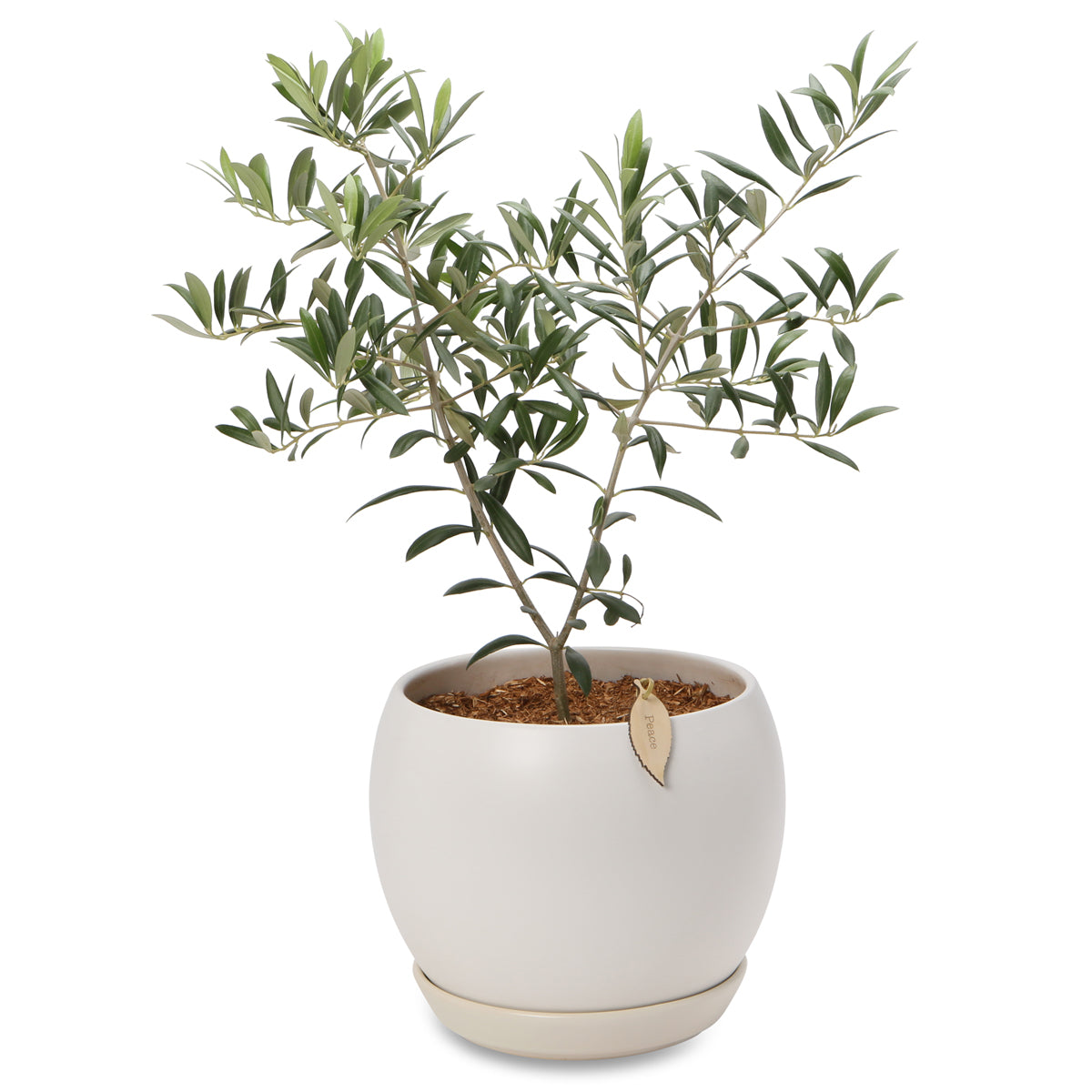 Potted Olive Peace trees