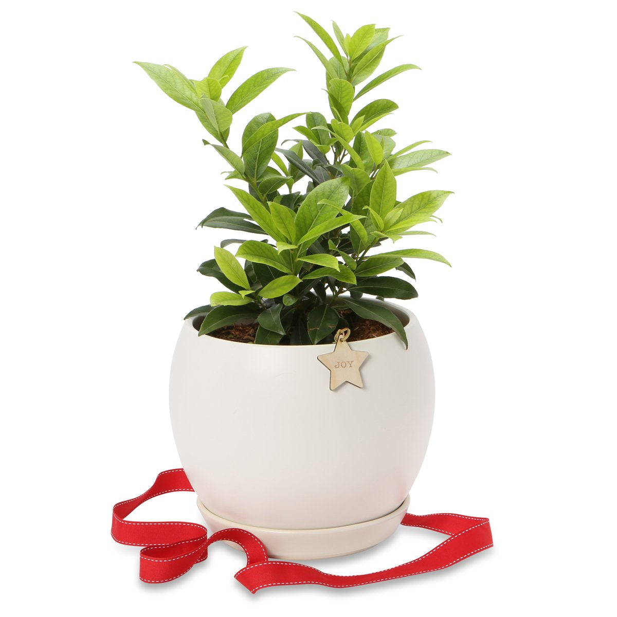 Potted Christmas Bay laurel trees
