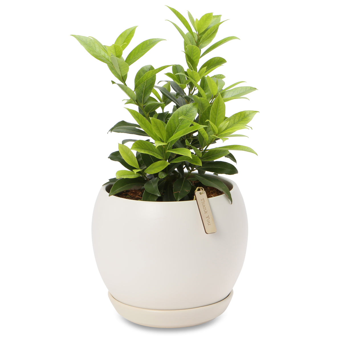 Potted Aromatic Bay laurel trees