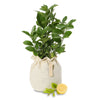 luscious lemon tree or sweet tahitian lime tree gift