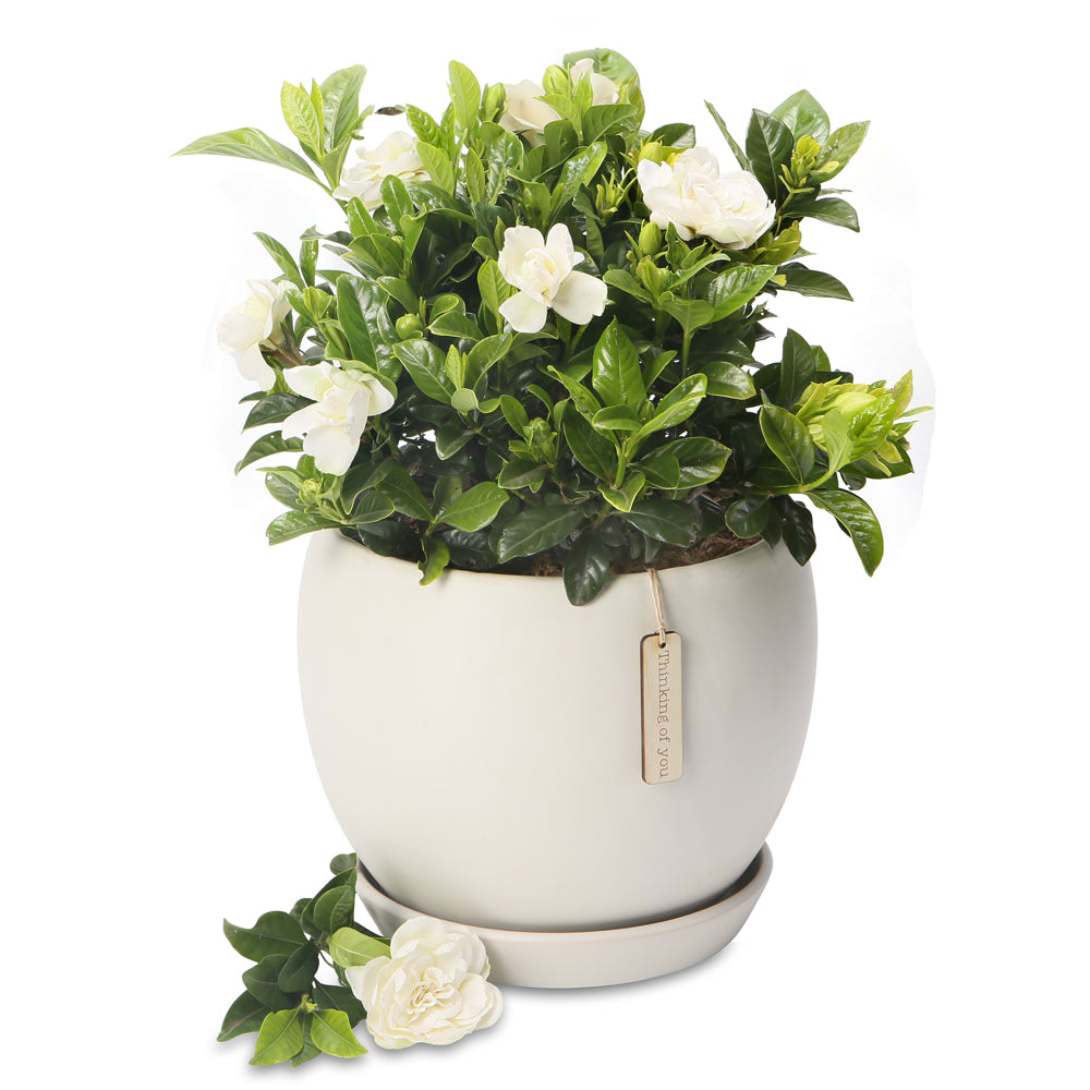 fragrant gardenia orb bowl