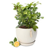 Luscious Lemon tree orb bowl