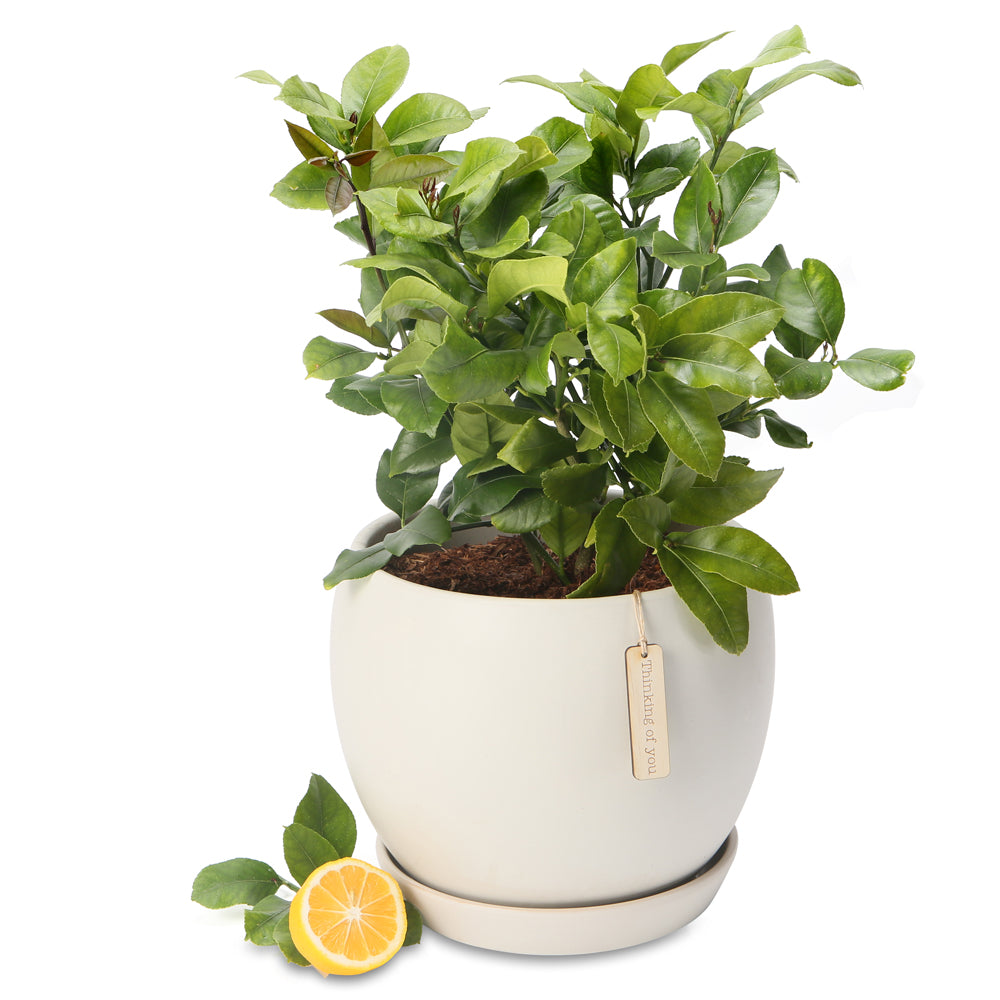 Potted Luscious Lemon trees