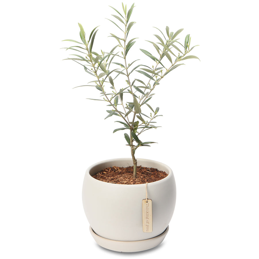 Bereavement sympathy remembrance gifts growing gifts olive tree globe bowl izmirmasajfo
