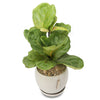 x large fiddle leaf fig orb bowl