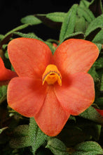 Dendrobium cuthbertsonii Orange