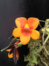 Dendrobium cuthbertsonii Orange and Red Bicolor