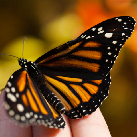 A single monarch butterfly rests on fingertips