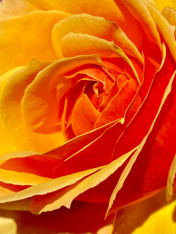 A close-up image of an orange and yellow rose