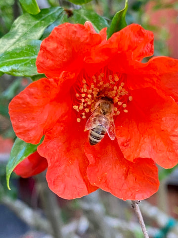Red pomegranate flower with bee inside