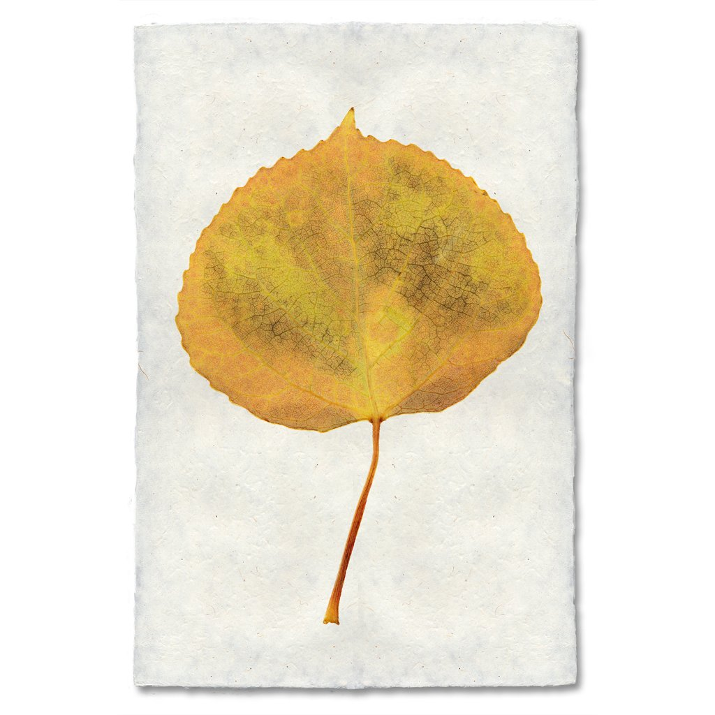 Aspen Autumn Leaf