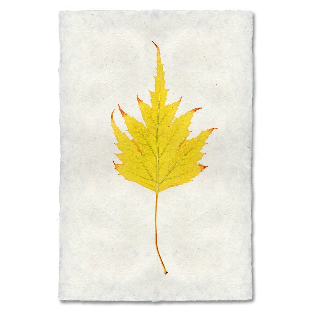 Birch Autumn Leaf