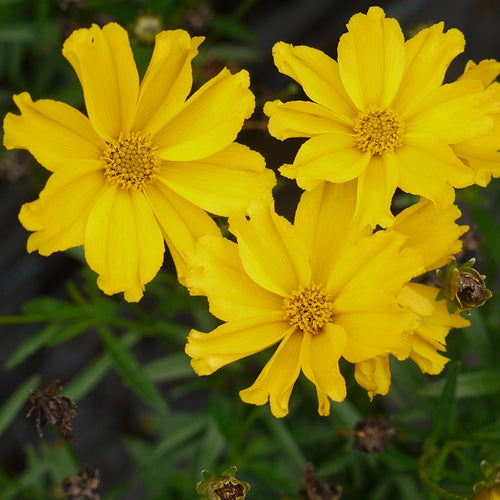 Coreopsis Lil Bang™ Goldilocks