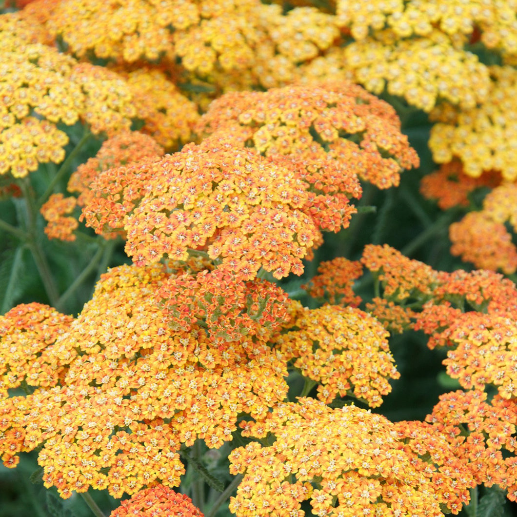 Terra Cotta Yarrow