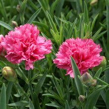 Load image into Gallery viewer, Dianthus 'Sherbert'