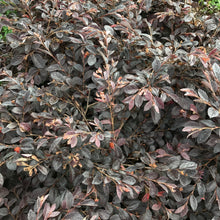 Load image into Gallery viewer, Loropetalum chinensis 'Daruma'