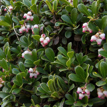 Load image into Gallery viewer, Arctostaphylos uva-ursi 'Emerald Carpet'