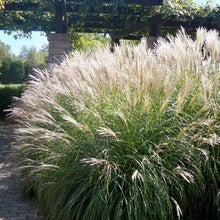 Load image into Gallery viewer, Miscanthus sinensis 'Morning Light'