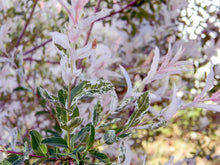 Load image into Gallery viewer, Salix integra 'Hakuro Nishiki'