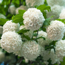Load image into Gallery viewer, Viburnum opulus 'Roseum'