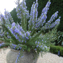 Load image into Gallery viewer, Rosmarinus officinalis 'Tuscan Blue'
