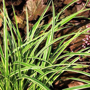 Carex Ice Ballet