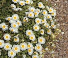 Load image into Gallery viewer, Cistus salviifolius 'Prostratus'