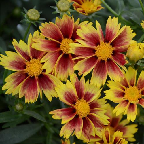 Coreopsis Li'l Bang 'Enchanted Eve'