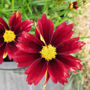 Li'l Bang 'Red Elf' Coreopsis
