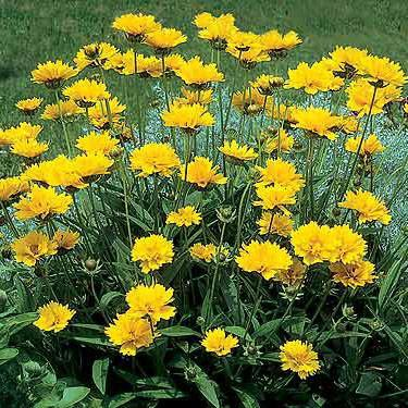 Coreopsis 'Early Sunrise'