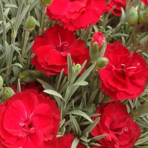 Dianthus Early Bird™ Radiance