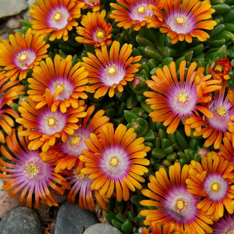 Delosperma 'Fire Spinner' Ice Plant
