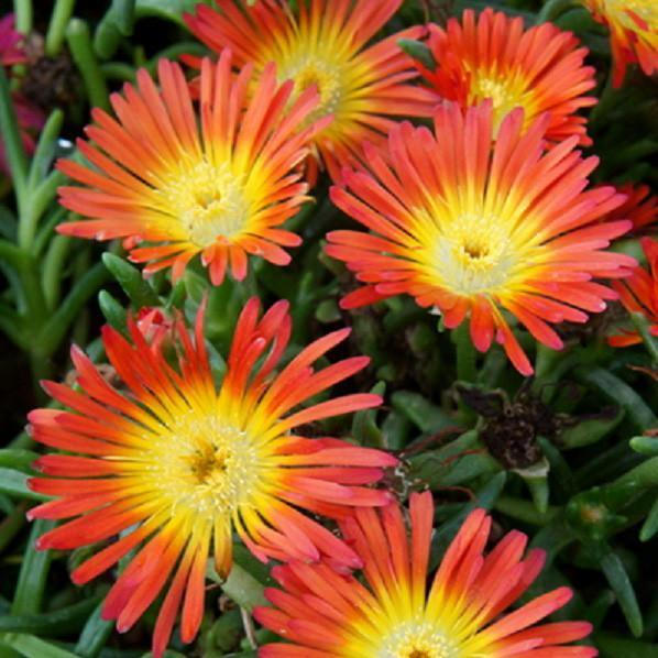 Wheels of Wonder 'Fire Wonder' Ice Plant