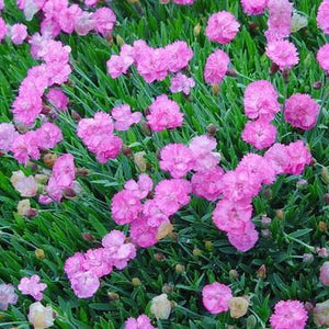 Dianthus 'Tiny Rubies'