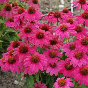 Echinacea 'PowWow Wildberry'