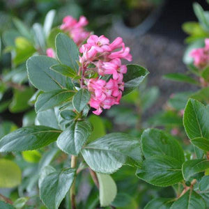 Escallonia 'Pink Princess'