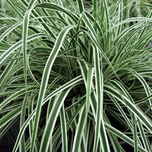 Everest Weeping Sedge