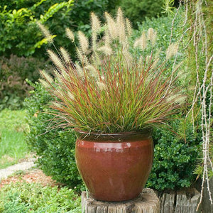 Fountain Grass 'Burgundy Bunny'