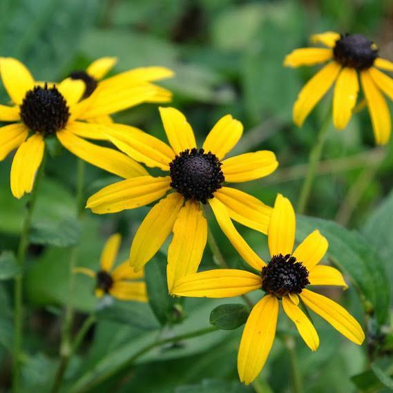 Goldsturm Coneflower