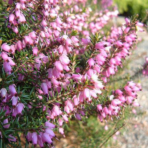 Heather 'Furzey'