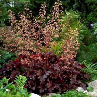 Heuchera Melting Fire