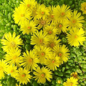 Hardy Yellow Ice Plant