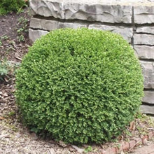 Load image into Gallery viewer, Buxus 'Wintergreen'
