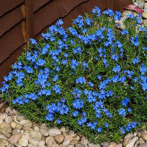 Lithodora 'Grace Ward'