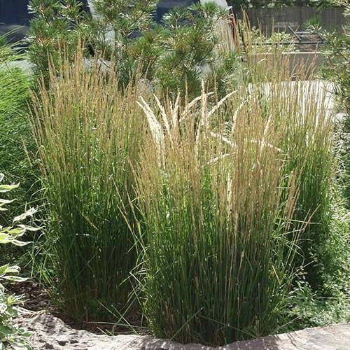 Feather Reed Grass Overdam