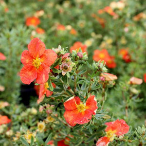 Potentilla 'Red Ace'