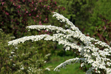 Load image into Gallery viewer, Spiraea nipponica 'Snowmound'