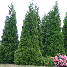Load image into Gallery viewer, Thuja Green Giant Arborvitae