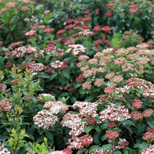 Load image into Gallery viewer, Viburnum tinus 'Spring Bouquet'